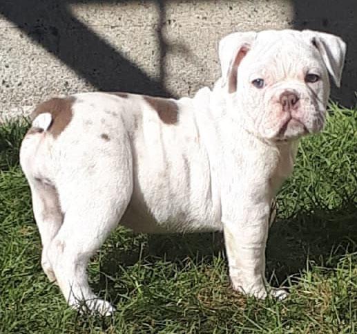 olde english bulldogge french bulldog