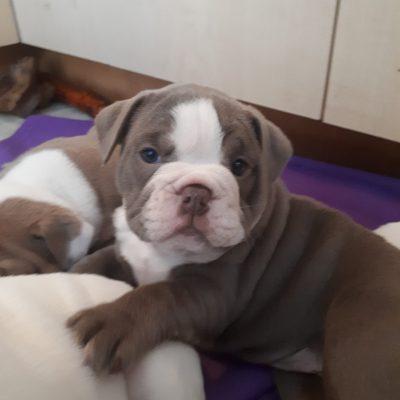 gizmo puppy 2